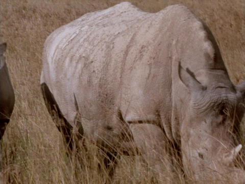 Rhinoceroses graze on the African grasslands Footage