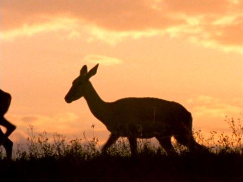 Deer stroll through a field Live Action