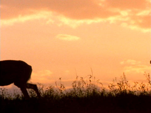 Deer stroll through a field Stock Video Footage