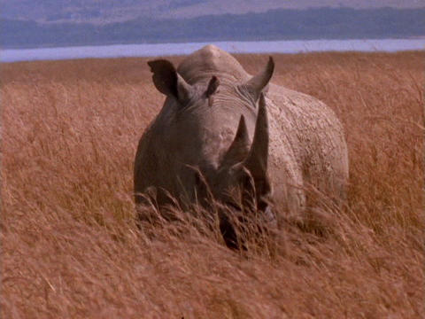 A rhinoceros grazes on the plains in Kenya, Africa Footage