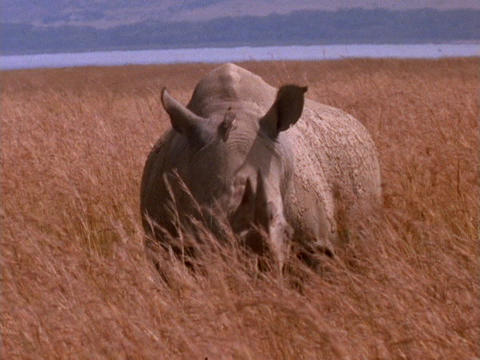 A rhinoceros grazes on the plains in Kenya, Africa Stock Video Footage