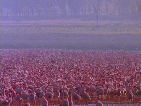 Pink Flamingos fill a lake in Kenya, Africa Footage
