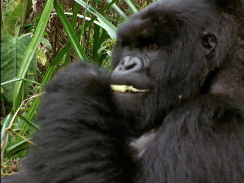 A gorilla munches on leaves in Rwanda, Africa Stock Video Footage