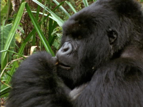 A gorilla munches on leaves in Rwanda, Africa Footage
