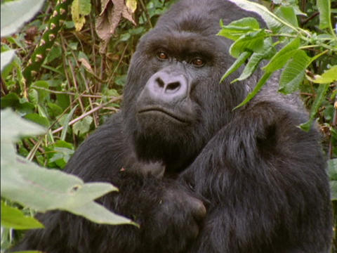 A gorilla peers through leaves in Rwanda, Africa Stock Video Footage