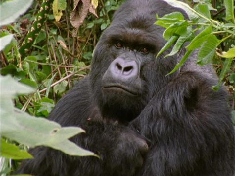 A gorilla peers through leaves in Rwanda, Africa Stock Video Footage