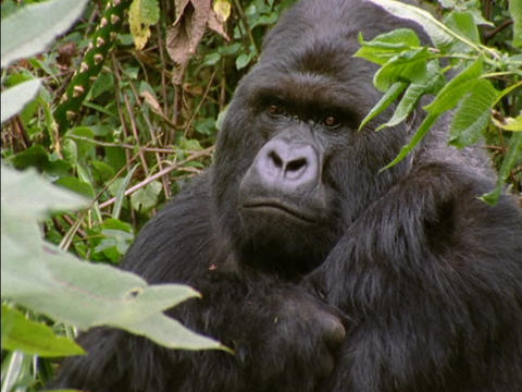 A gorilla peers through leaves in Rwanda, Africa Footage