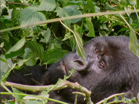 A gorilla munches on branches in Rwanda, Africa Footage