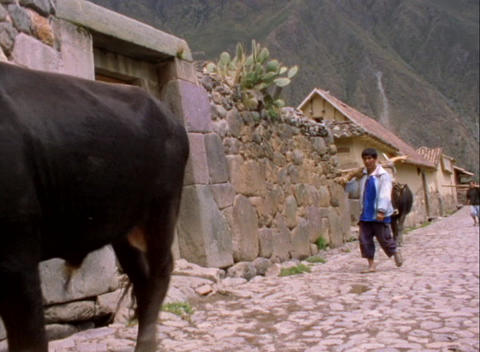 A lockdown shot of farmers and cows walking along a... Stock Video Footage