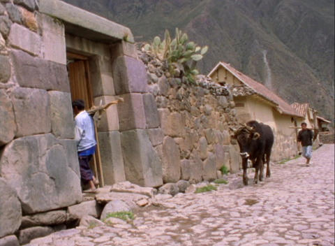 A lockdown shot of farmers and cows walking along a cobblestone street in a Peruvian village Footage