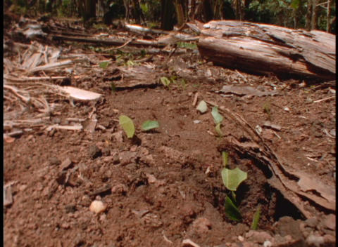 Medium-shot of leafcutter ants at work on the forest... Stock Video Footage