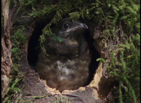 Close-up of a small bird peering out of its nest in the... Stock Video Footage
