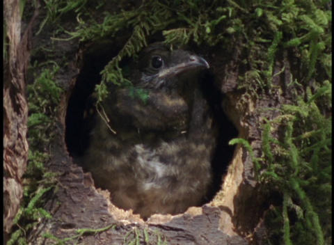 Close-up of a small bird peering out of its nest in the Amazon rainforest Footage
