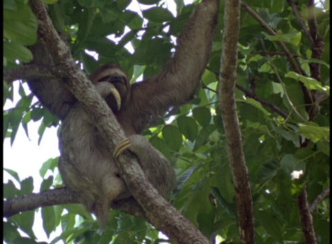Medium-shot of an Amazon rainforest tree sloth relaxing in a tree Footage