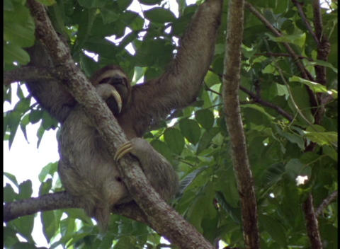 Medium-shot of an Amazon rainforest tree sloth relaxing... Stock Video Footage