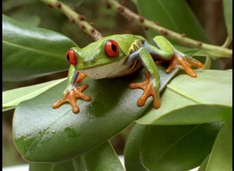 Extreme close-up of bright green red-eyed tree frog Footage