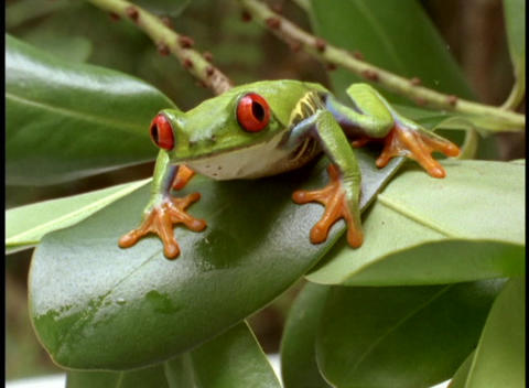 Extreme close-up of bright green red-eyed tree frog Stock Video Footage