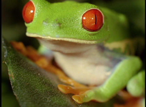 Extreme close-up of a bright green red-eyed tree frog Stock Video Footage