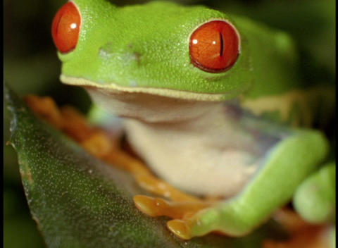 Extreme close-up of a bright green red-eyed tree frog Footage