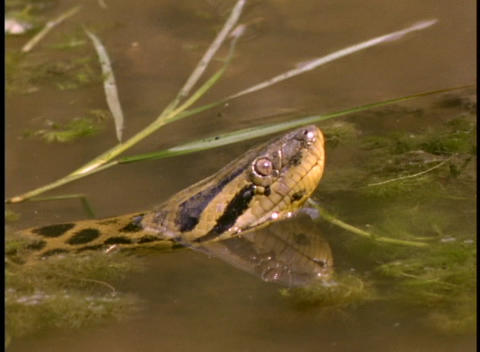 Close-up of an anaconda snake floating in river water in... Stock Video Footage