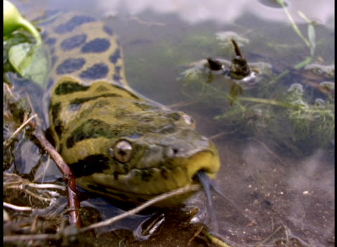 Close-up of an anaconda snake emerging from the Amazon river Stock Video Footage