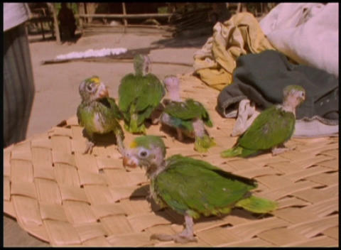 Close-up of baby parrots being raised by hand Stock Video Footage