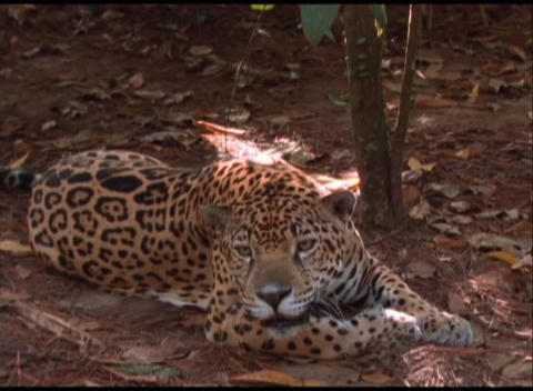 Medium-shot of a jaguar lying in the shade and snarling Stock Video Footage