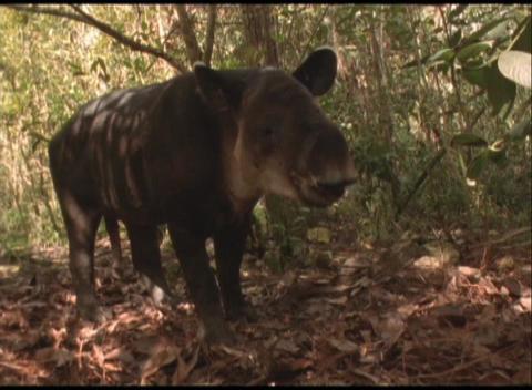 Medium-shot of a Brazilian tapir in the Amazon rainforest Stock Video Footage