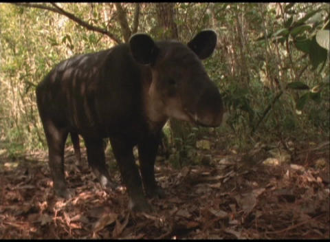 Medium-shot of a Brazilian tapir in the Amazon rainforest Footage