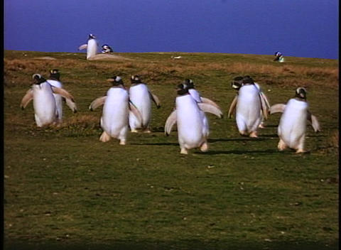 Penguins waddle across a fields on the Falkland Islands Stock Video Footage