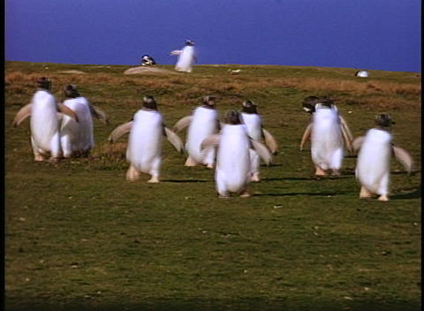 Penguins waddle across a fields on the Falkland Islands Live Action