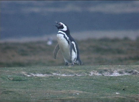 A Magellanic penguin warbles on a field on the Falkland... Stock Video Footage