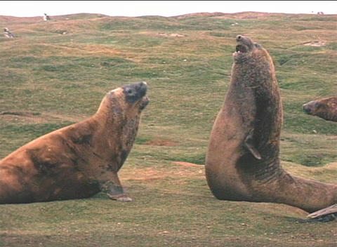 Elephant seals engage in a mating ritual on the Falkland Islands Footage