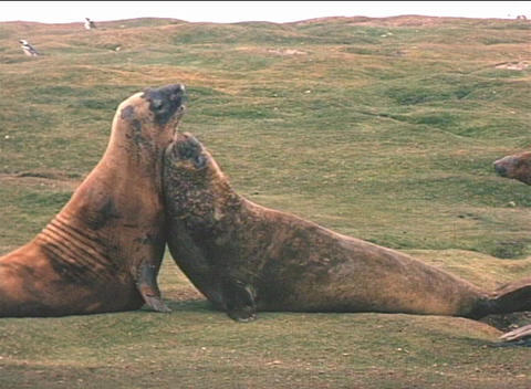Elephant seals engage in a mating ritual on the Falkland... Stock Video Footage