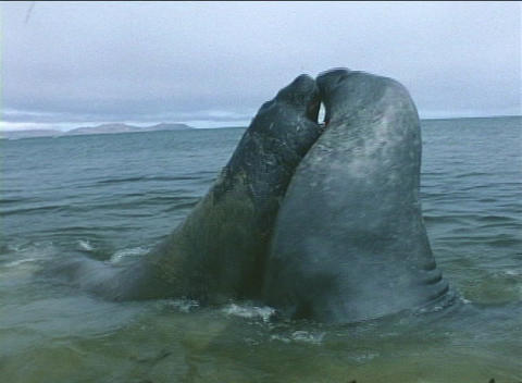 Elephant seals tussle for dominance in the Falkland Islands Stock Video Footage