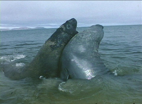 Elephant seals tussle for dominance in the Falkland Islands Footage