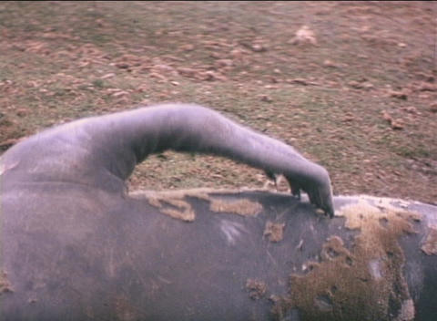 An elephant seal scratches an itch on the Falkland Islands Stock Video Footage