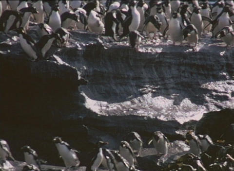 Rockhopper penguins traverse the rocky shores of the... Stock Video Footage