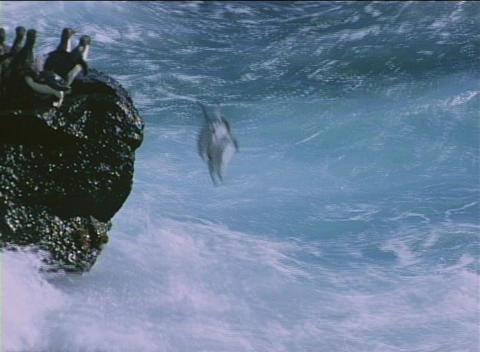 Rockhopper penguins jump off the rocks into the ocean at... Stock Video Footage