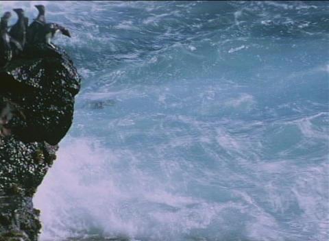 Rockhopper penguins jump off the rocks into the ocean at the Falkland Islands Footage