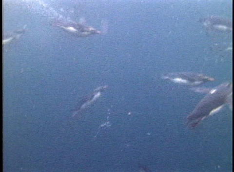 Rockhopper penguins swim in the oceans off the Falkland Islands Footage