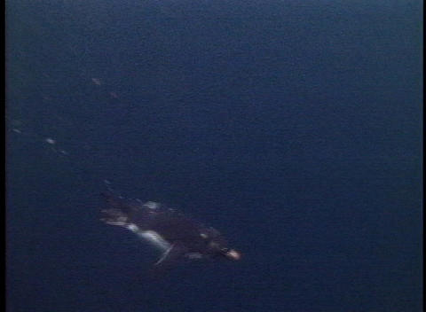 Rockhopper penguins swim in the oceans off the Falkland... Stock Video Footage