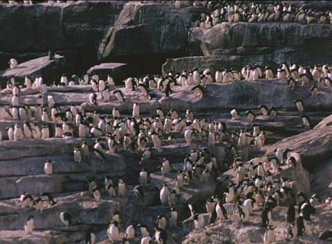 Rockhopper penguins descend the cliffs on the Falkland... Stock Video Footage