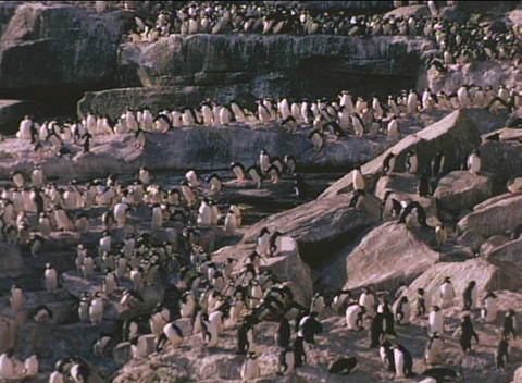 Rockhopper penguins descend the cliffs on the Falkland Islands Footage