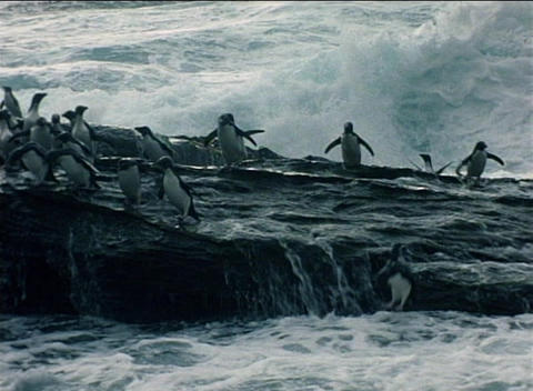 Rockhopper penguins ride the surf over the rocks on the... Stock Video Footage