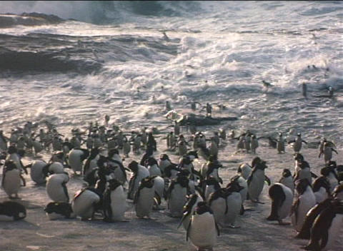 Rockhopper penguins ride the surf off of the Falkland... Stock Video Footage