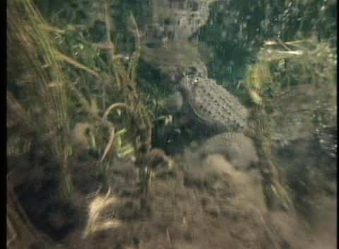 An alligator swims in clear water Stock Video Footage