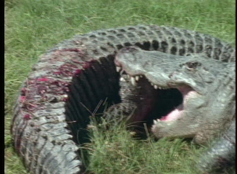 alligators wrestle each other Stock Video Footage
