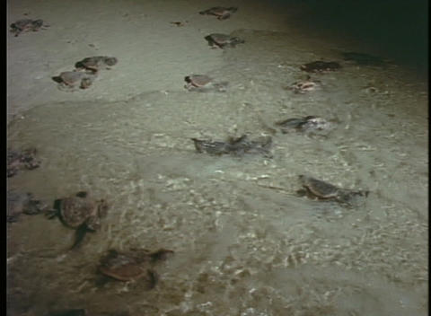 Sea turtle hatchlings enter the surf Stock Video Footage