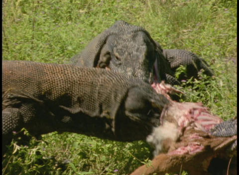 Komodo Dragons tear apart the carcass of an animal Stock Video Footage